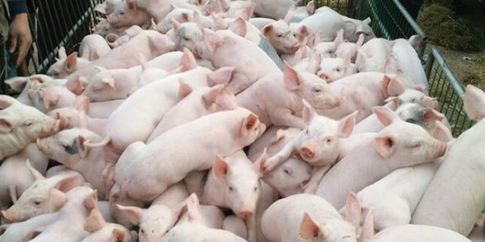 如何正确使用乳猪饲料?