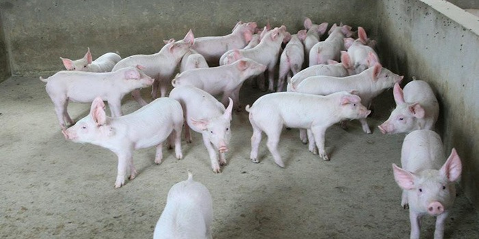 猪饲料拌药需要注意事项有哪些?