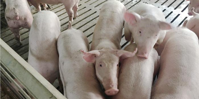 快大品牌中草药猪饲料的作用