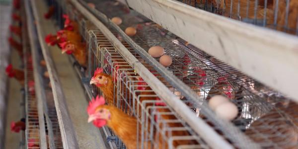 """蛋鸡养殖中的十一个""""不能""""!"""