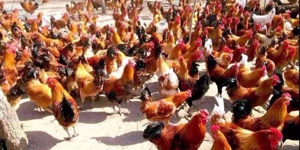 99%的养鸡户在错误使用维生素!