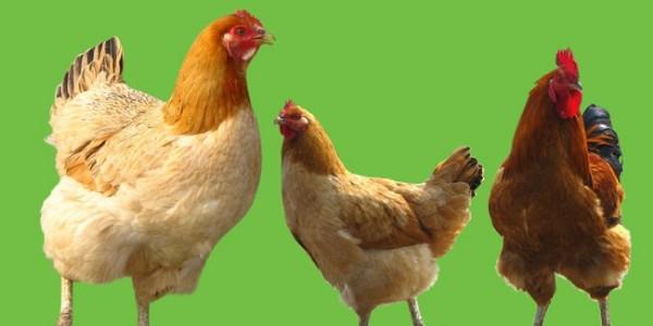 鸡病防治口决,太有才了