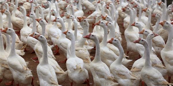 鹅的主要经济用途和品种!