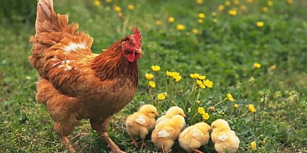 养鸡有误区,当心别中招