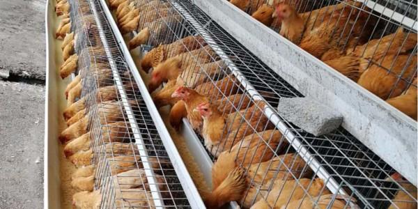 鸡舍头尾温差大的原因以及改善办法