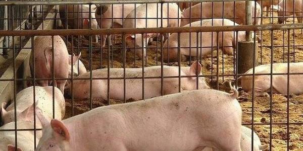 猪饲料,猪预混料